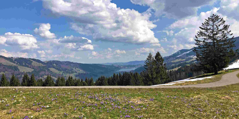 Krokusblüte am Hündle mit Blick auf den Großen Alpsee