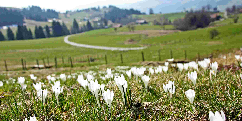 Weiße Krokusblüten auf grüner Frühlingswiese