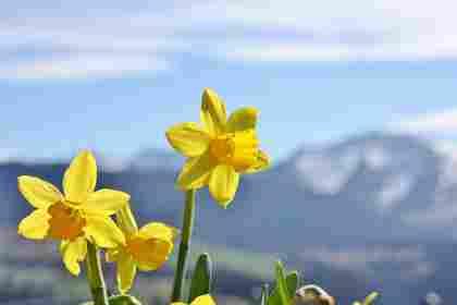 Gelbe Narzissen vor frühlingshaftem Bergpanorama