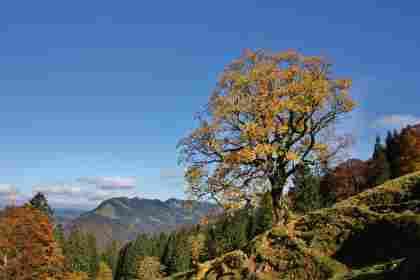 Bergahorn im Herbst