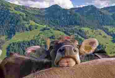 Kuh schaut über den Rücken einer anderen Kuh und legt ihren Kopf darauf