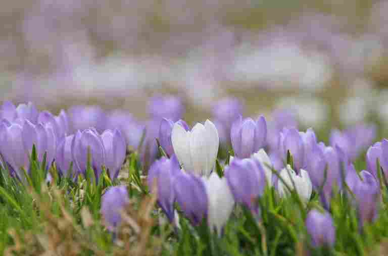 Krokusblüte im Frühling