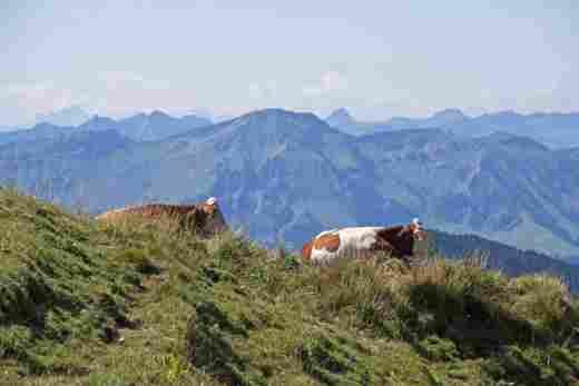 Panoramablick vom Gipfel des Hochgrat auf zwei liegende Kühe und die umliegenden Berge
